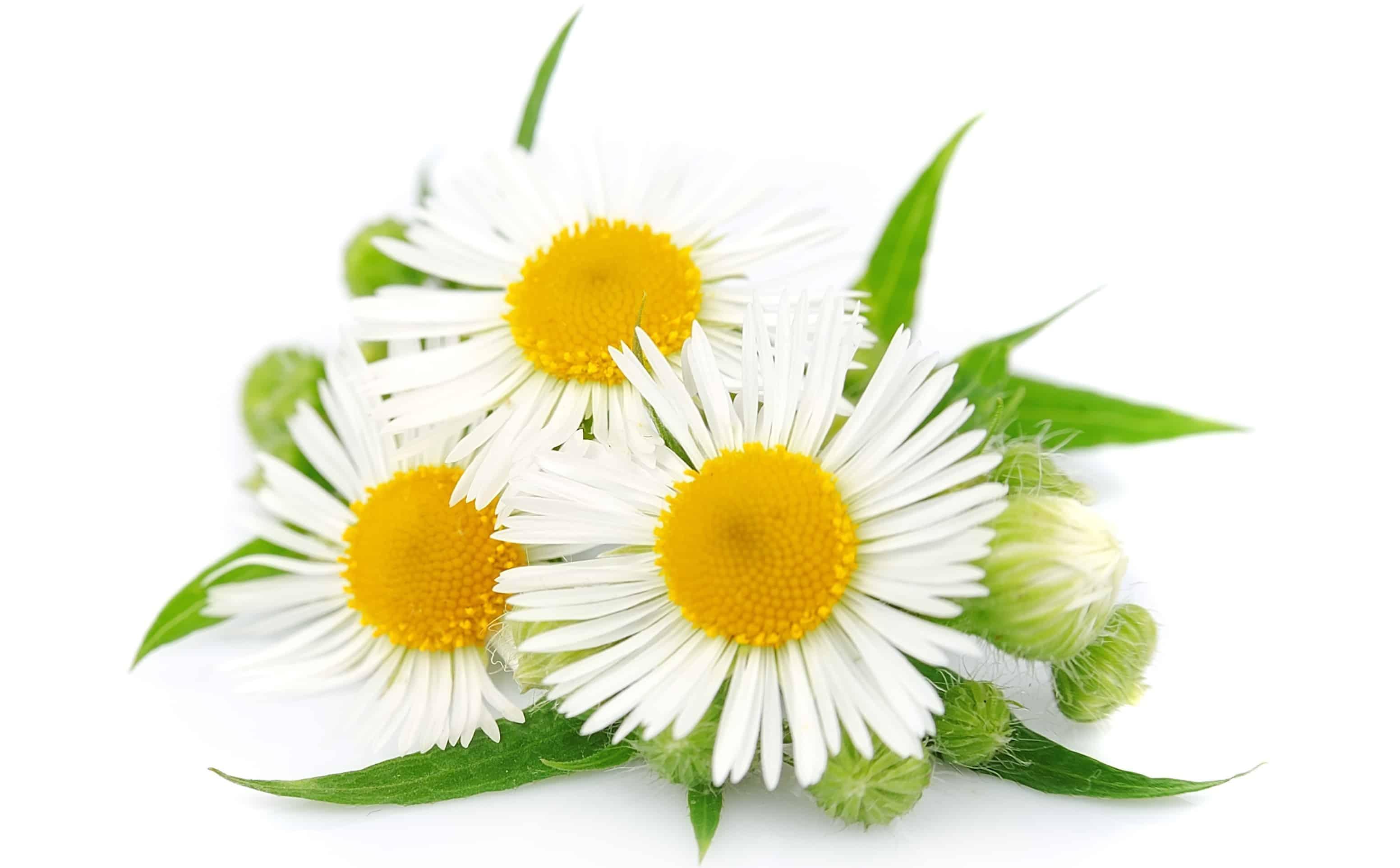trà hoa cúc là gì
