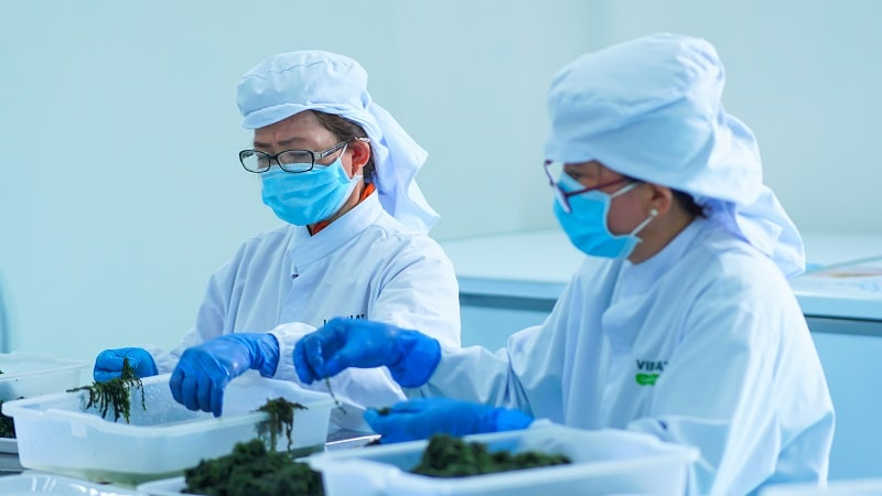 Quy trình sản xuất rong nho Yukibudo tại nhà máy Organic Food